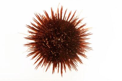 Photo: A black sea urchin (Arbacia lixula) at Aquarium Berlin.