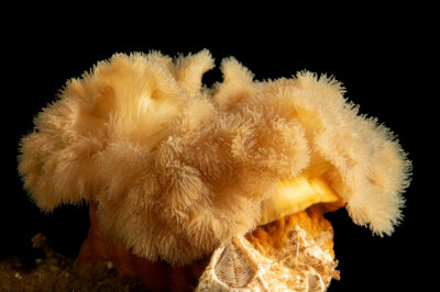 Photo: A frilled anemone (Metridium senile) at the Maine State Aquarium in West Boothbay, ME.