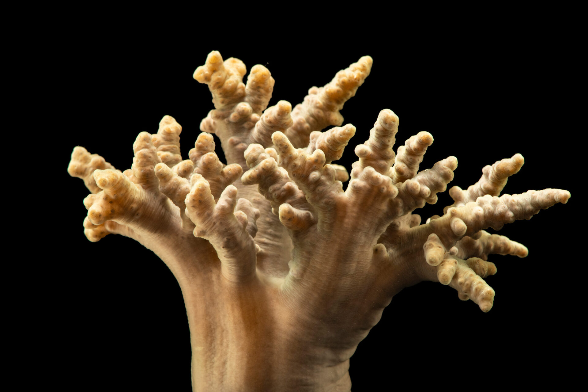 Photo: Soft finger coral or flexible leather coral (Sinularia sp.) at California Science Center in Los Angeles, California.