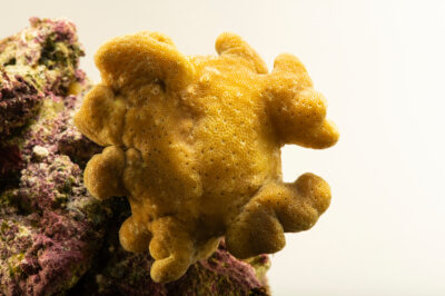 Photo: A yellow Fiji leather coral (Sarcophyton elegans) at California Science Center in Los Angeles, California.