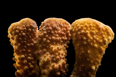 Photo: A cauliflower coral (Pocillopora eydouxi) at California Science Center in Los Angeles, California.
