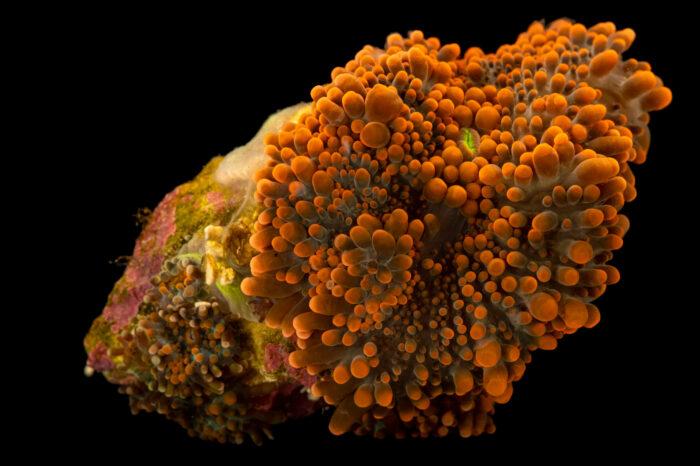 Photo: Yuma coral (Ricordea yuma) from a private collection in Saint Louis.