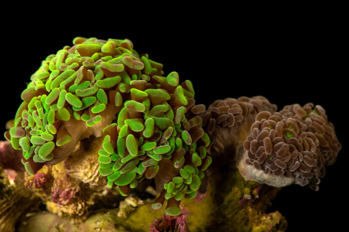 Photo: Anchor coral or hammer coral (Euphyllia ancora) from a private collection in Saint Louis.