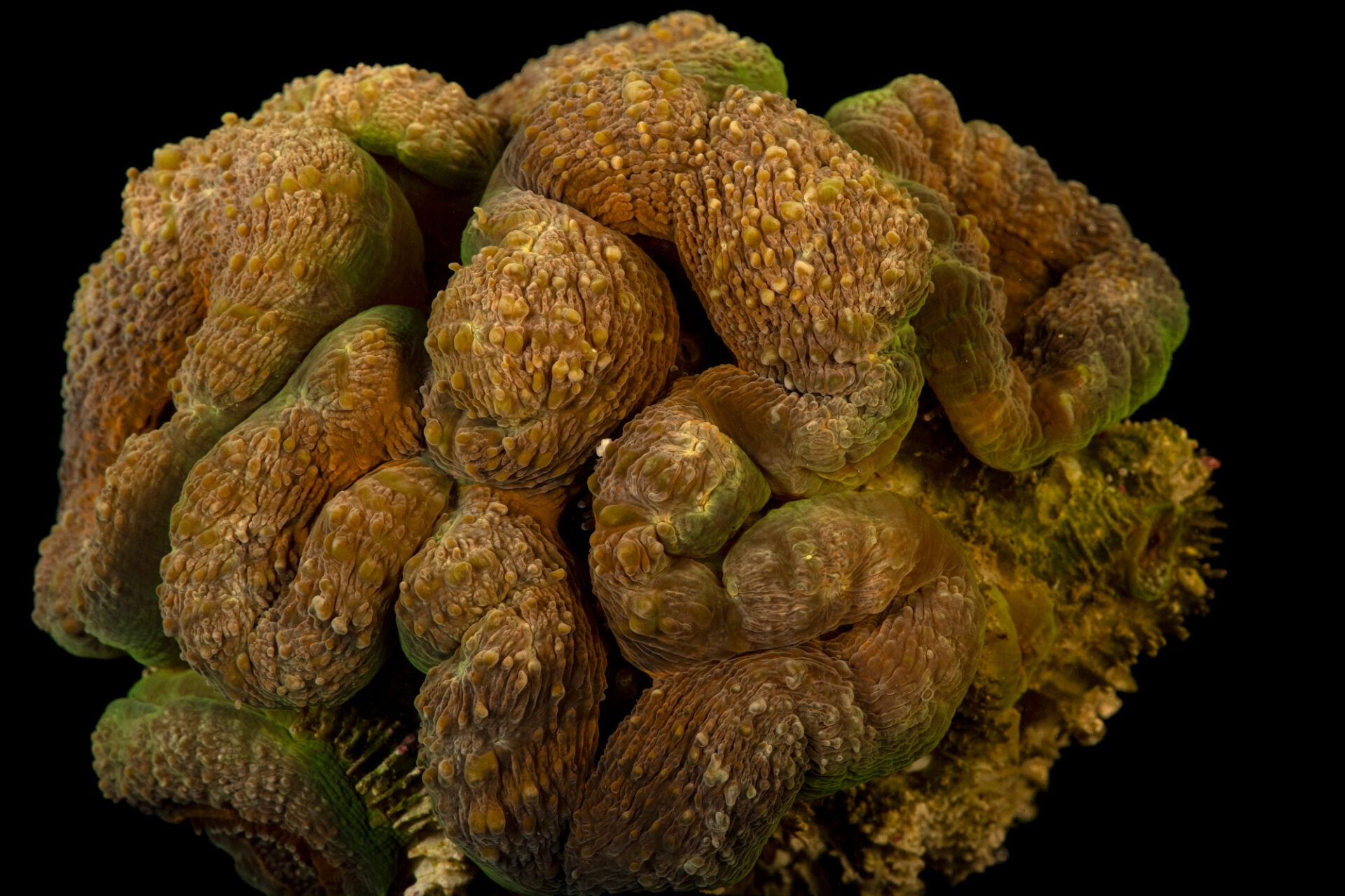 Photo: Lobed brain coral (Lobophyllia hemprichii) from a private collection in Saint Louis.