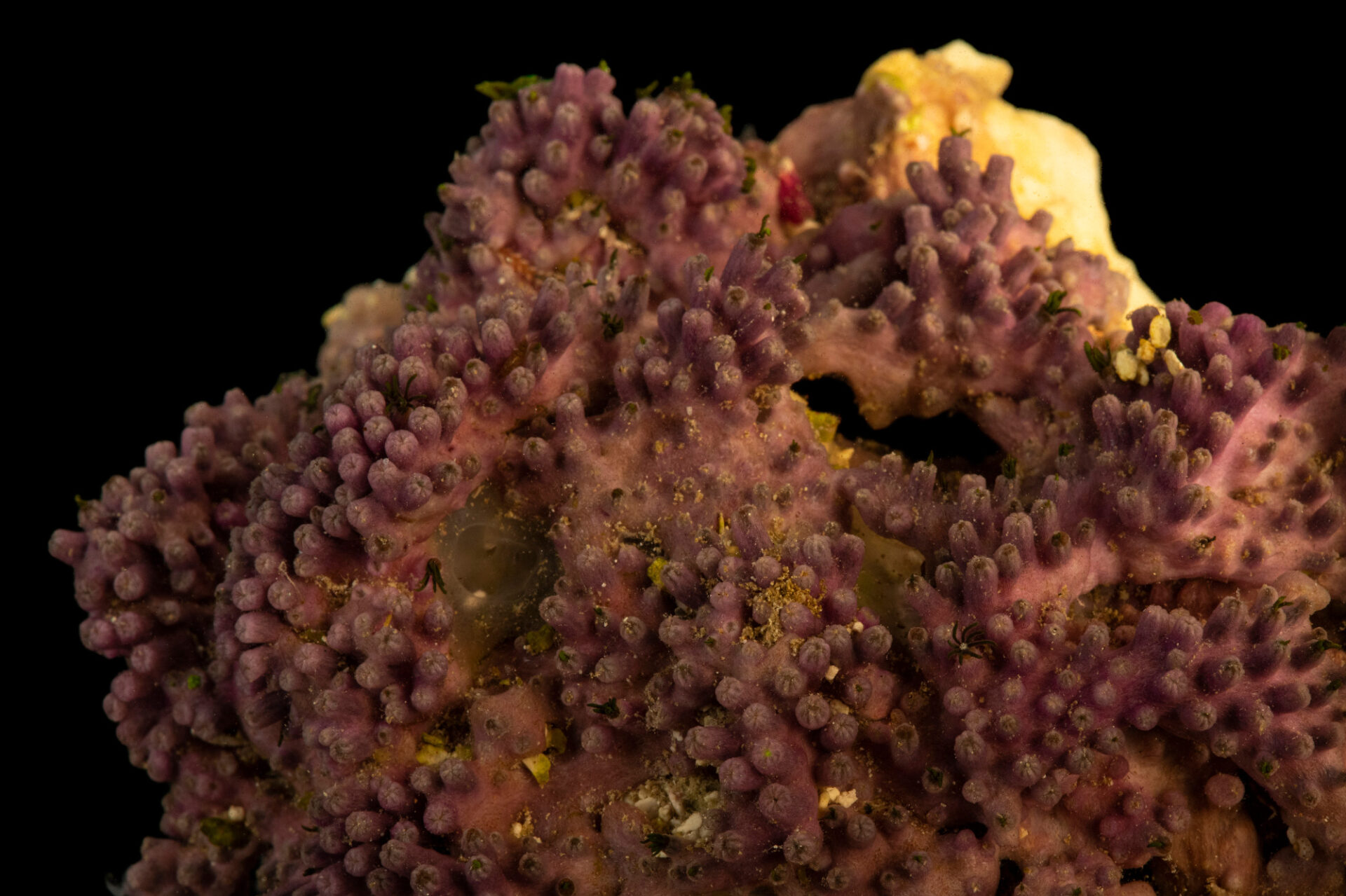 Photo: Green star polyps (Pachyclavularia violacea) from a private collection in Saint Louis.