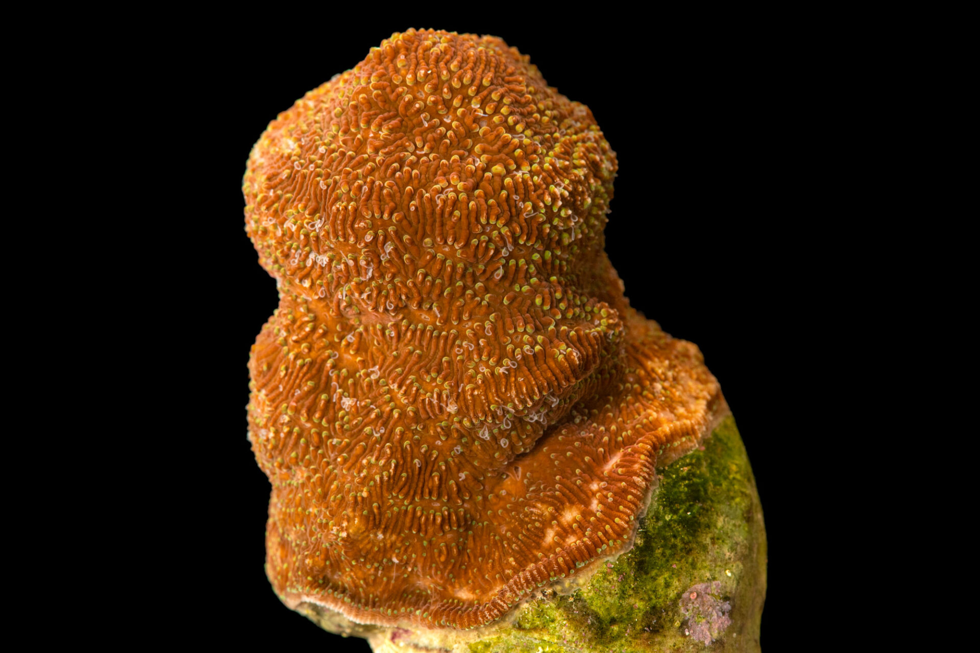 Photo: Pavona coral (Pavona decussata) from a private collection in Saint Louis.