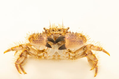 Photo: A hairy crab (Pilumnus sayi) at Gulf Specimen in Panacea, Florida.