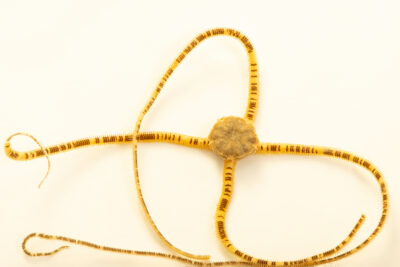 Photo: A unidentified brittle star (Ophiophragmus sp.) Gulf Specimen in Panacea, Florida.