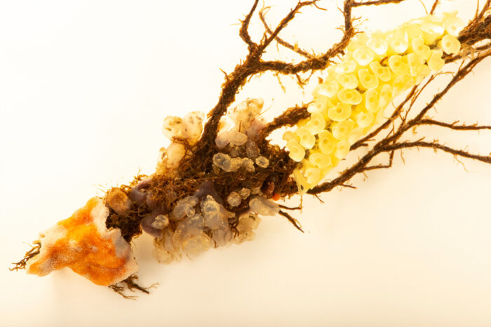Photo: Several species of invertebrates cling to a bougainvillea hydroid stem at Gulf Specimen in Panacea, Florida.