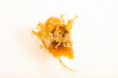 Photo: A fouling anemone (Aiptasiomorpha texaensis) at Gulf Specimen in Panacea, Florida.