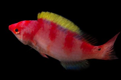 Picture of a yellow-fin fairy wrasse (Cirrhilabrus flavidorsalis) at Pure Aquariums.