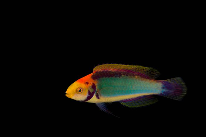 Picture of red-eye wrasse (Cirrhilabrus solorensis) at Omaha's Henry Doorly Zoo and Aquarium.