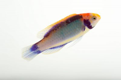 Picture of a red-eye wrasse (Cirrhilabrus solorensis) at Omaha's Henry Doorly Zoo and Aquarium.