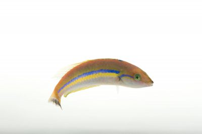 Picture of a candy wrasse (Pseudojuloides cerasinus) at Omaha's Henry Doorly Zoo and Aquarium.