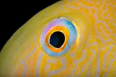 Photo: Pearly razorfish (Xyrichtys novacula) at the Albuquerque BioPark Aquarium.