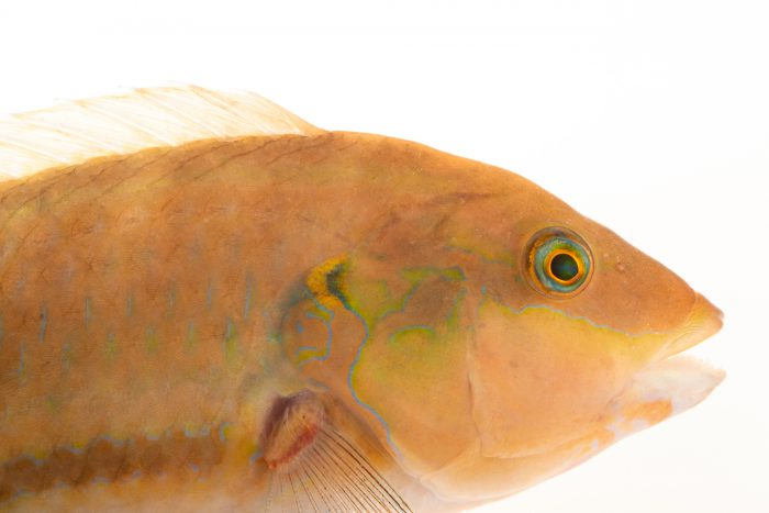 Photo: Green wrasse (Halichoeres bivittatus) at Gulf Specimen Marine Lab.