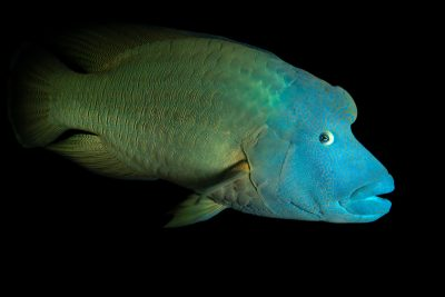 Photo: An endangered humphead wrasse, Cheilinus undulatus, at the Dallas World Aquarium.