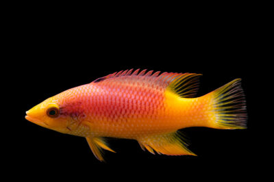 Photo: A Spanish hogfish (Bodianus rufus) at Shark Reef Aquarium at Mandalay Bay, Las Vegas NV.