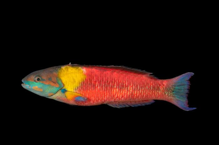 Photo: A male Cortez rainbow wrasse (Thalassoma lucasanum) at the Downtown Aquarium in Denver, Colorado.