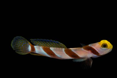 Picture of a black-ray goby (Stonogobiops nematodes) at Pure Aquariums.
