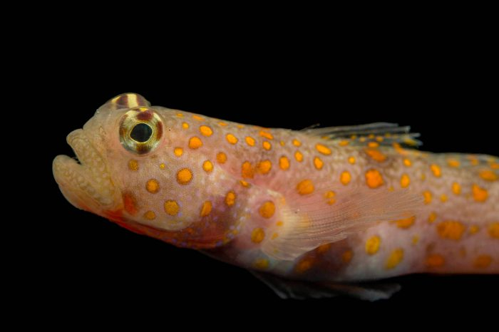Photo: Spotted prawn goby (Amblyeleotris guttata) at the Loveland Living Planet Aquarium.
