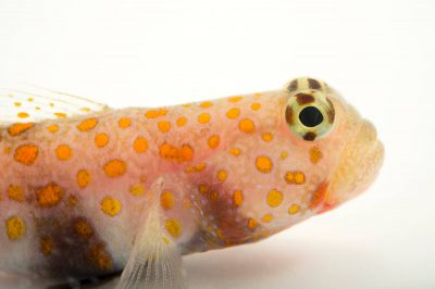 Photo: Spotted prawn goby (Amblyeleotoris guttata) at the Loveland Living Planet Aquarium.