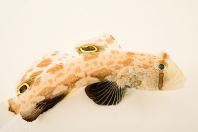 Photo: Two spot goby (Signigobius biocellatus) from a private collection.