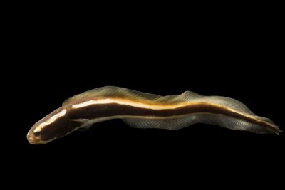Photo: Engineer goby (Pholidichthys leucotaenia) from a private collection.