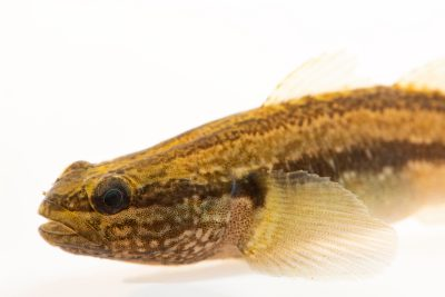 Photo: Shimofuri goby (Tridentiger bifasciatus) at the Fish Conservation and Culture Lab in Byron, CA at UC Davis.