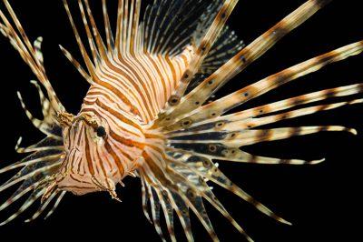 Picture of a red lionfish (Pterois volitans) at Pure Aquariums.