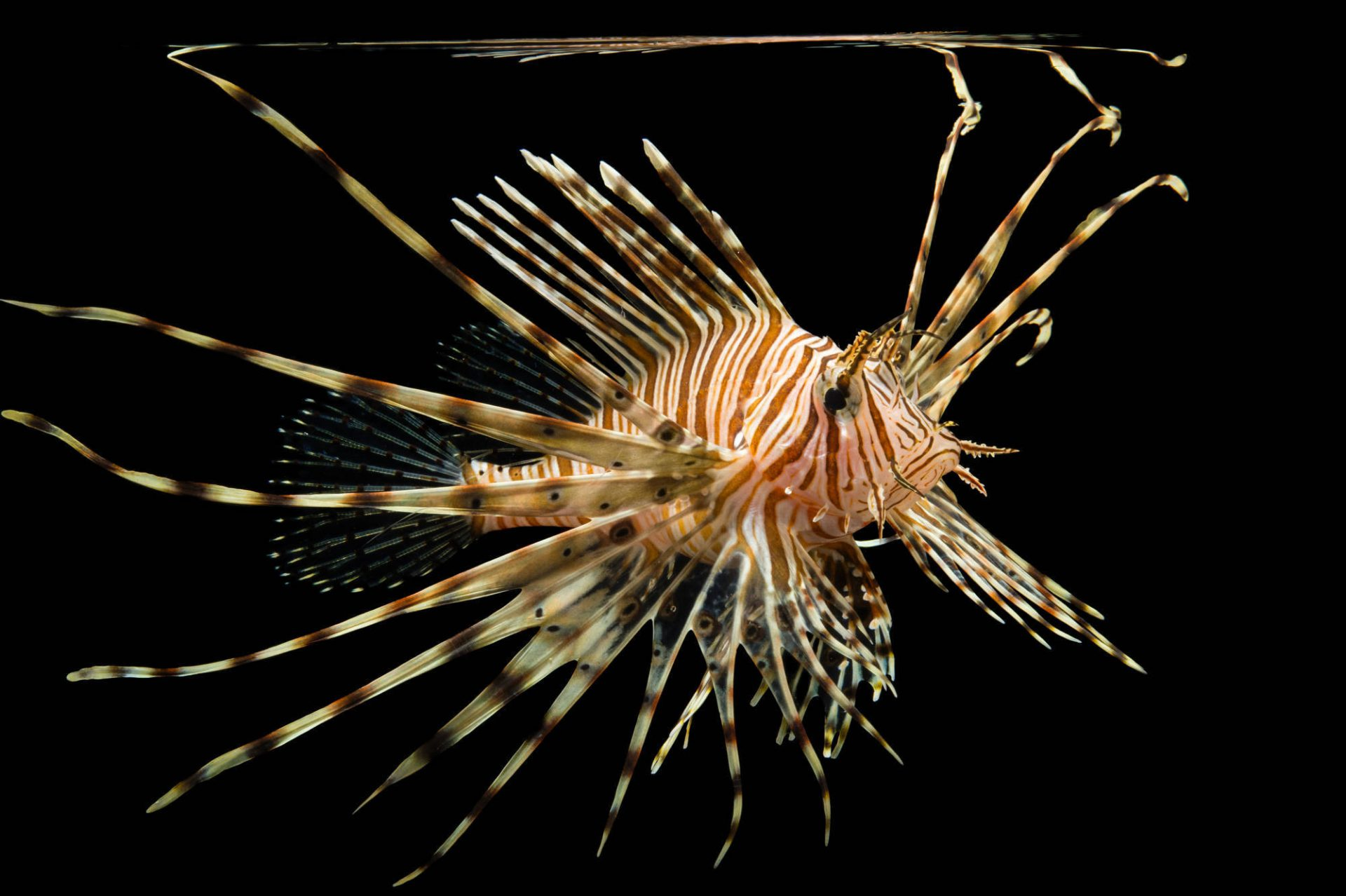 Picture of a red lionfish (Pterois volitans) at Pure Aquariums.