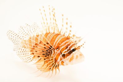 Photo: Antennata lionfish (Pterois antennata) at the Dallas Children's Aquarium.