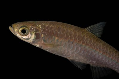Picture of a twospot rasbora (Rasbora elegans) at the Virginia Aquarium.