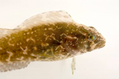 Picture of a striped blenny (Chasmodes bosquianus) at the Virginia Aquarium.