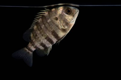 Photo: A sheepshead (Archosargus probatocephalus) at the Virginia Aquarium.