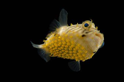Photo: A striped burrfish (Chilomycterus schoepfii) at the Virginia Aquarium.