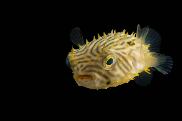 Photo: A striped burrfish (Chilomycterus schoepfii) at the Virginia Aquarium.