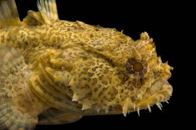 Photo: An oyster toadfish (Opsanus tau) at the Virginia Aquarium.