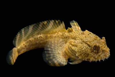 Photo: An oyster toadfish (Opsanus tau) at the Virginia Aquarium.