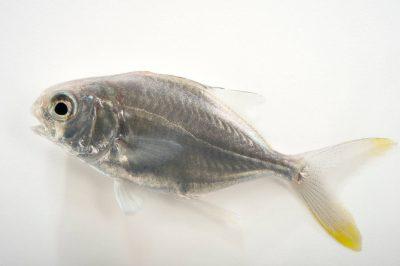 Photo: A Florida Pompano (Trachinotus carolinus) at the Virginia Aquarium.