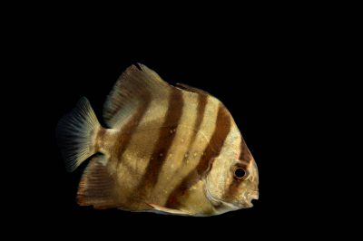 Photo: An Atlantic spadefish (Chaetodipterus faber) at the Virginia Aquarium.