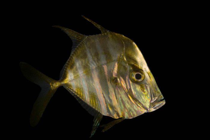 Photo: A lookdown fish (Selene vomer) at the Virginia Aquarium.