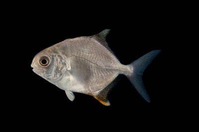Photo: A permit (Trachinotus falcatus) at the Virginia Aquarium.