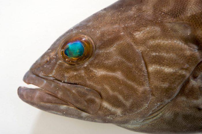 Photo: A gag (Mycteroperca microlepis) at the Virginia Aquarium.