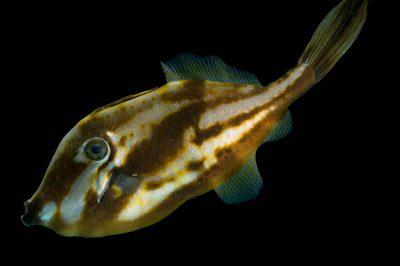 Photo: An orange filefish (Aluterus schoepfii) at the Virginia Aquarium.