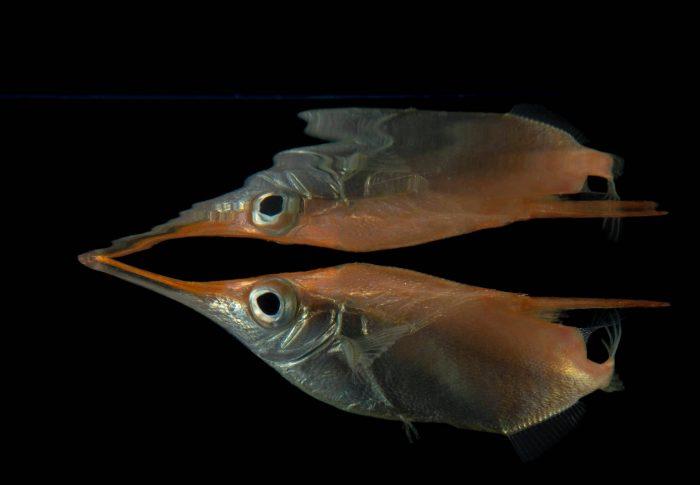 Photo: A snipefish, spine trumpet fish, or trumpetfish, (Macroramphosus scolopax) at the Virginia Aquarium.