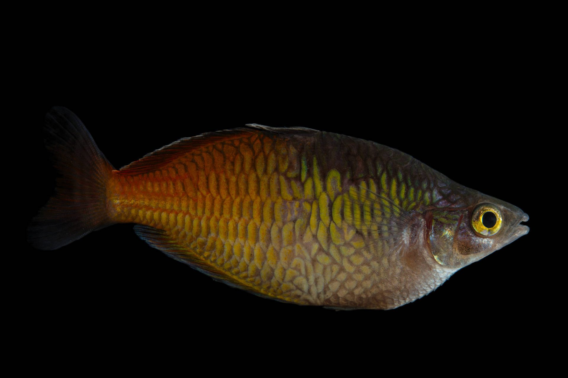Picture of an endangered Boeseman's rainbowfish (Melanotaenia boesemani) at the Oklahoma City Zoo.