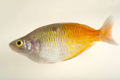 Picture of an endangered Boeseman's rainbowfish (Melanotaenia boesemani) at the Oklahoma City Zoo.