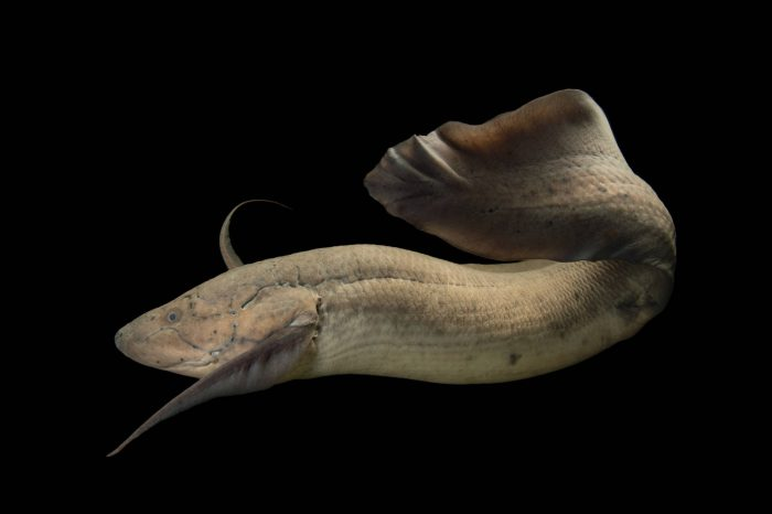 Picture of a West African lungfish (Protopterus annectens) at the Oklahoma City Zoo