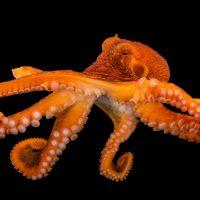 Photo: A female giant Pacific octopus (Enteroctopus dofleini) at the Alaska SeaLife Center.